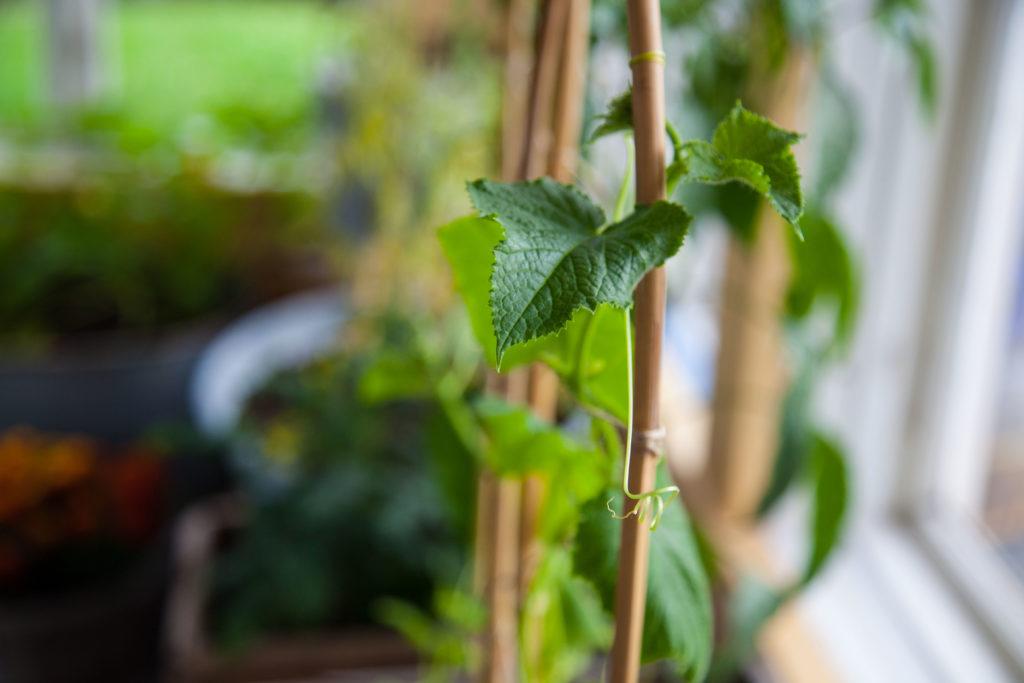 Gurkplanta