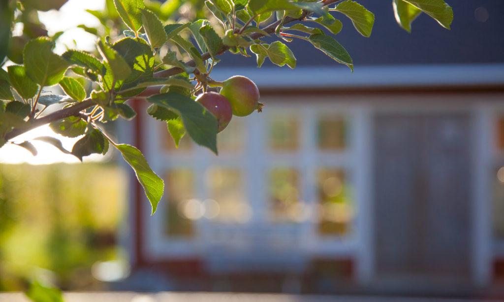 Äppelkvist