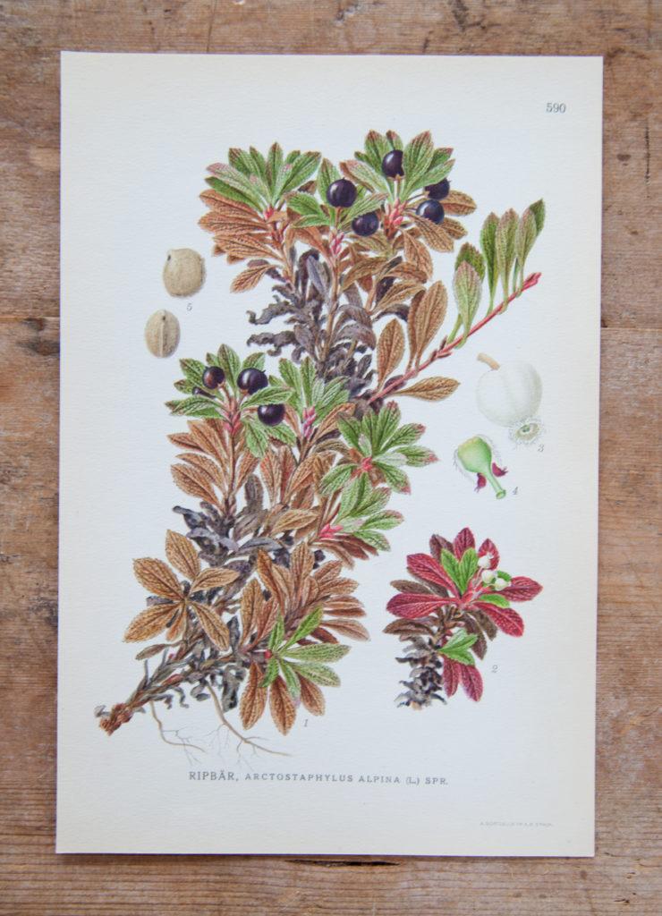 Florablad Ripbär