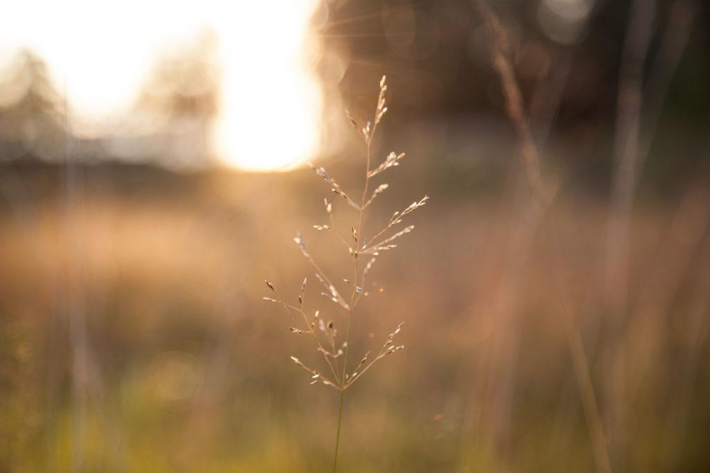 Grässtrå i motljus