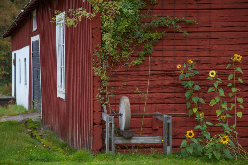 Solrosor mot ladugården