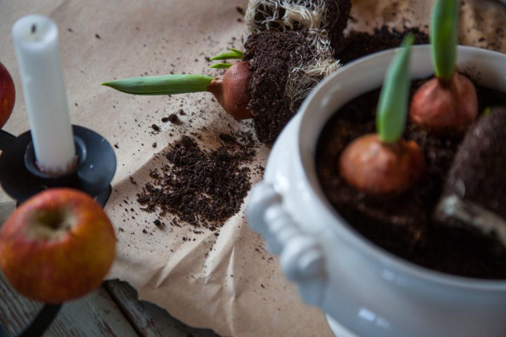 Tulpaner på lök